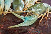 Claw Crayfish Closeup