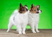 Two Beautiful Puppies Papillon