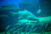 picture of great white shark  - Great white shark in the depths of the sea - JPG