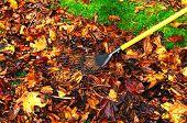 Raking up maple leaves.