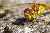 Dragonfly standing on rocky ground