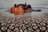 Conceptual images of a hippopotamus and drought as a result of global warming