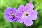 Purple Primrose Oenothera Frutcosa
