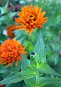 foto of bud  - orange zinnia bud and flower in the garden on daytime (focus on the bud) ** Note: Shallow depth of field - JPG
