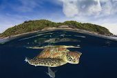 Green Sea Turtle underwater in sea beside tropical island paradise