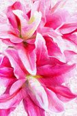 picture of stargazer-lilies  - pink lilies bouquet background for greeting card - JPG