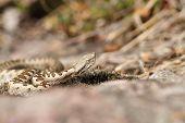 European Horned Viper