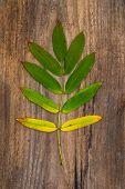 Green-yellow Leaf Of Rowan Lying On A Wooden Board