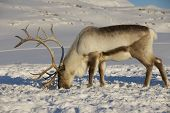 pic of tromso  - Reindeer in natural environment, Tromso region, Northern Norway.