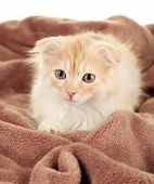 image of scottish-fold  - Cute little Scottish fold kitten on plaid - JPG