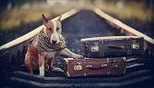 foto of vertebrate  - The bull terrier looks for the house - JPG