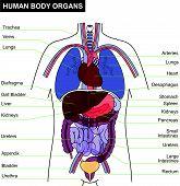 Human Body Organ.eps
