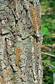 Caterpillars Of Gypsy Moth