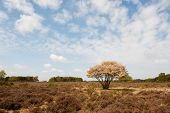 Blossom Tree In Heather Landscape