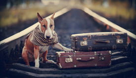 image of runaway  - The bull terrier looks for the house - JPG