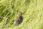 pic of dartmouth  - Saltmarsh Sparrow makes a brief appearance in tall grass