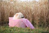 stock photo of pomeranian  - pomeranian puppy dog in basket picnic - JPG