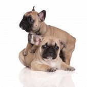 picture of french bulldog puppy  - two beige french bulldog puppies on white - JPG