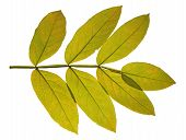 picture of ashes  - The green autumn leaf ash on white background - JPG