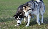 pic of domination  - Two Siberian Husky is strolling next to each other - JPG