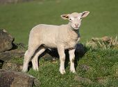 foto of spring lambs  - Cute Spring Lambs Holmfirth in West Yorkshire