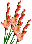 stock photo of gladiolus  - Beautiful red gladiolus isolated on white background - JPG
