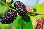 pic of mulberry  - close - JPG