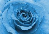 stock photo of rose close up  - Close up image of beautiful old blue rose  - JPG