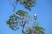 picture of osprey  - Osprey Sitting on a Tree Branch Against Deep Blue Sky - JPG