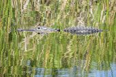 image of alligator  - American Alligator Swimming in a River With Reflections - JPG