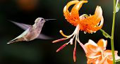 picture of hummingbirds  - Hummingbird in flight near orange iris flower - JPG