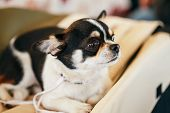 picture of chihuahua  - Chihuahua dog - JPG