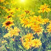 stock photo of black-eyed susans  - Blooming yellow rudbeckia  - JPG