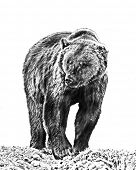 stock photo of grizzly bear  - Line art - JPG