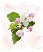 picture of apple blossom  - Digital Painting Of Apple Tree Blossom - JPG