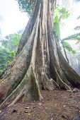 image of big-foot  - in the forests of Thailand is a beautiful tree with a big foot - JPG
