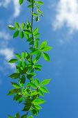 image of creeper  - The Green Creeper Plant on background sky - JPG
