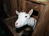 stock photo of saanen  - Saanen nice  white female goat in barn - JPG