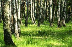 pic of birchwood  - image of beautiful birchwood in the spring in May - JPG