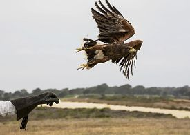 stock photo of hawk  - A Harris hawk is the only hawk known to hunt in packs which makes it ideal for falconry or hawkery - JPG