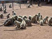 Monkey Rats