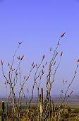 Planta de Ocotillo