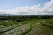 Ricefield In Bali