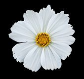 White isolated cosmea