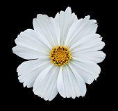 White isolated cosmea