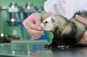 Small Marten To The Vet