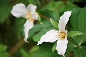 foto of trillium  - 2 white trillium flowers with a green leafy background - JPG
