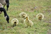 pic of mother goose  - Canada goose goslings sitting in the grass with mother at lakeside - JPG