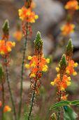 Bulbine flower
