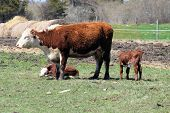 picture of hereford  - Hereford calves beside their Mother in a small pasture in early spring - JPG
